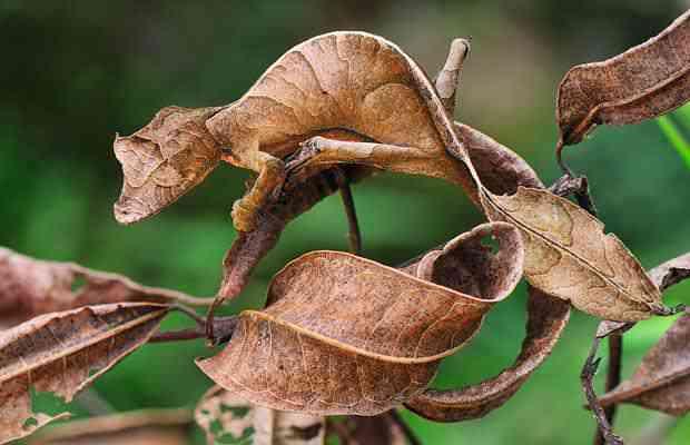 leaf gecko 1501561i Os animais mais bizarros do mundo Parte 2