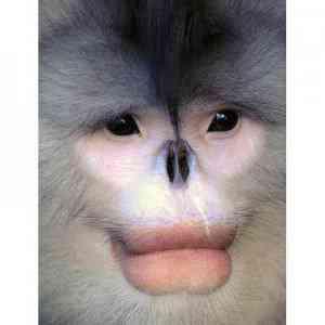 monkey lips 1508150i 300x300 Os animais mais bizarros do mundo Parte 2