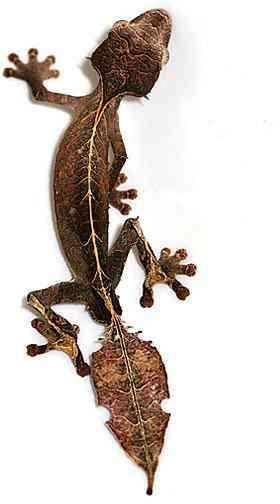 satanic leaf tailed gecko Os animais mais bizarros do mundo Parte 2