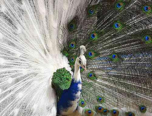 123909406 2b9e7e4588 Albinismo: O branco que a natureza merece