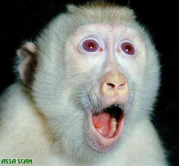 Albino Macaque Face Closeup by Aska Albinismo: O branco que a natureza merece