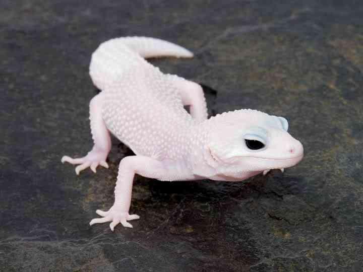 MSS Patternless Male Albinismo: O branco que a natureza merece
