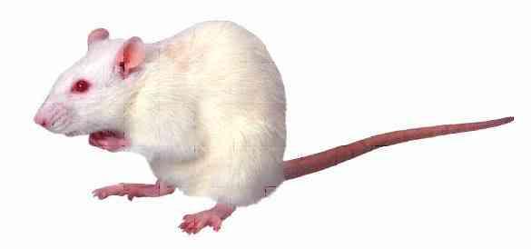 Mouse Albinismo: O branco que a natureza merece