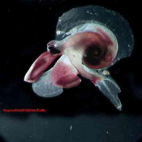 Oxygyrus keraudreni 461 Criaturas inacreditáveis do fundo do mar   parte 2