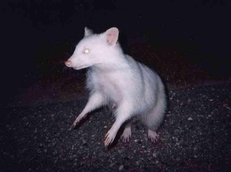 albcoon Albinismo: O branco que a natureza merece