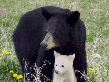 albino bear b Albinismo: O branco que a natureza merece