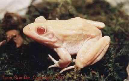 albino frogleopard b Albinismo: O branco que a natureza merece
