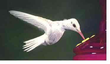 albino hummer Ru Thr b Albinismo: O branco que a natureza merece