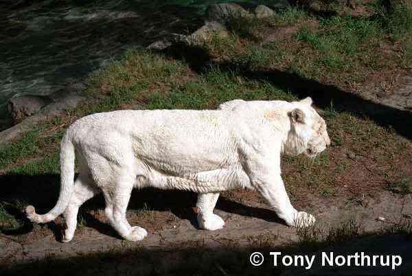 albino tiger Albinismo: O branco que a natureza merece