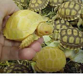 albino tortoise sulcata2 b Albinismo: O branco que a natureza merece