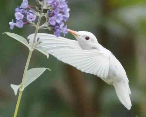 albinohummer 500x400 Albinismo: O branco que a natureza merece