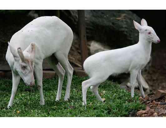 ap deer 080411 ssh Albinismo: O branco que a natureza merece
