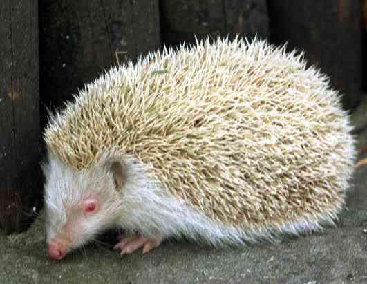 ap hedgehog 080411 ssh 1 Albinismo: O branco que a natureza merece