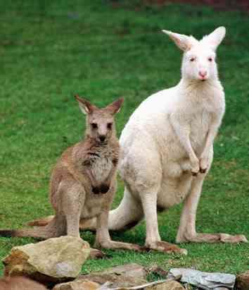 ap kangaroo 080411 ssv Albinismo: O branco que a natureza merece