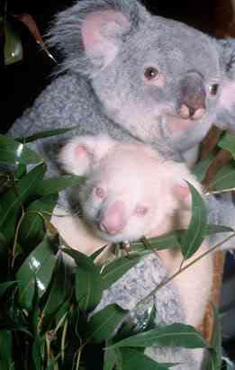 ap koala 080411 ssv Albinismo: O branco que a natureza merece
