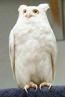 ap owl 080411 ssv Albinismo: O branco que a natureza merece