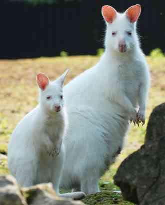 ap wallaby 080411 ssv Albinismo: O branco que a natureza merece
