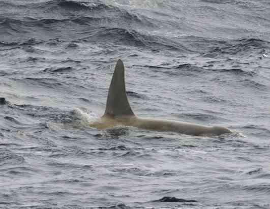 ap whale 080411 ssh Albinismo: O branco que a natureza merece