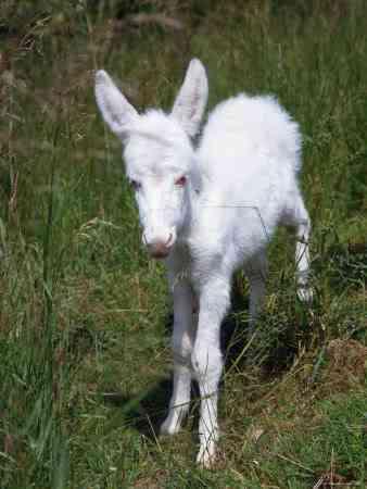 donkey Albinismo: O branco que a natureza merece