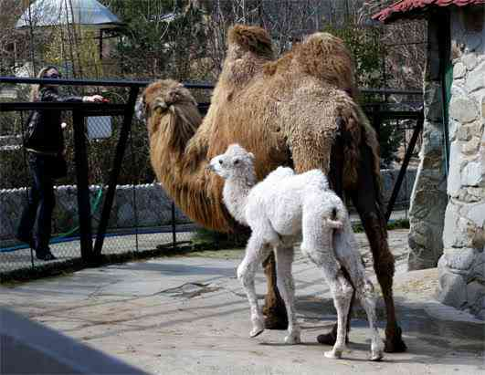 ld camel 080411 ssh Albinismo: O branco que a natureza merece