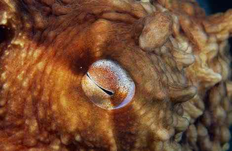 pacific octopus eye 387051 ga Criaturas inacreditáveis do fundo do mar   parte 2