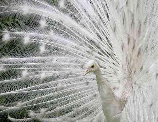 rt peacock 080411 ssh Albinismo: O branco que a natureza merece