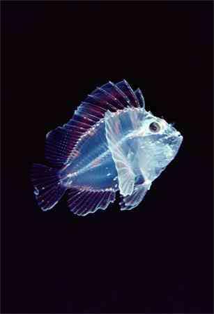 translucent leaf scorpionfish newbe Criaturas inacreditáveis do fundo do mar   parte 2