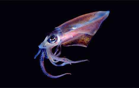 translucent squid newbert 1145416 g Criaturas inacreditáveis do fundo do mar   parte 2
