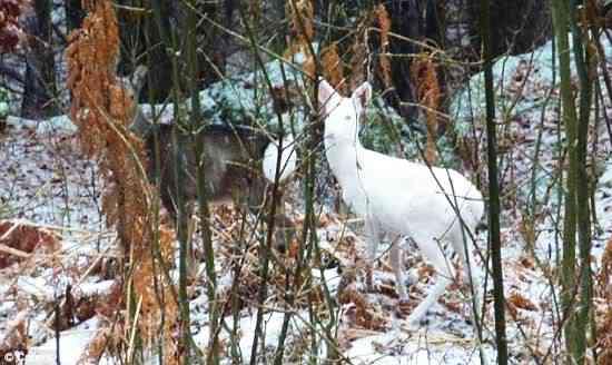 white bambi Albinismo: O branco que a natureza merece