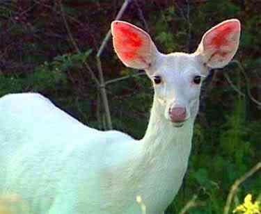 white deer Albinismo: O branco que a natureza merece