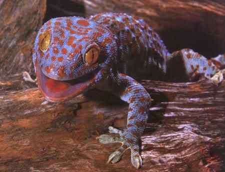 Tokay geckoB Lagartixas, animais incríveis