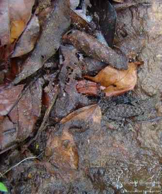 geckocamouflage Lagartixas, animais incríveis