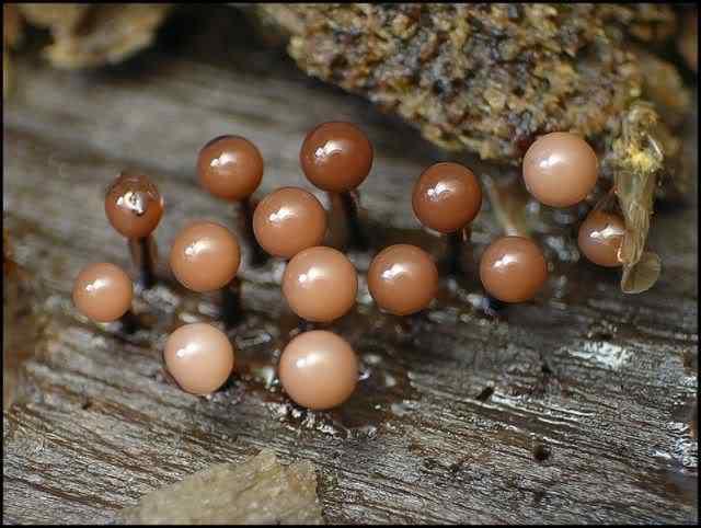 slime mold 13 Os mais incríveis fungos e líquens da natureza
