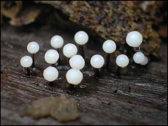 slime mold 14 Os mais incríveis fungos e líquens da natureza
