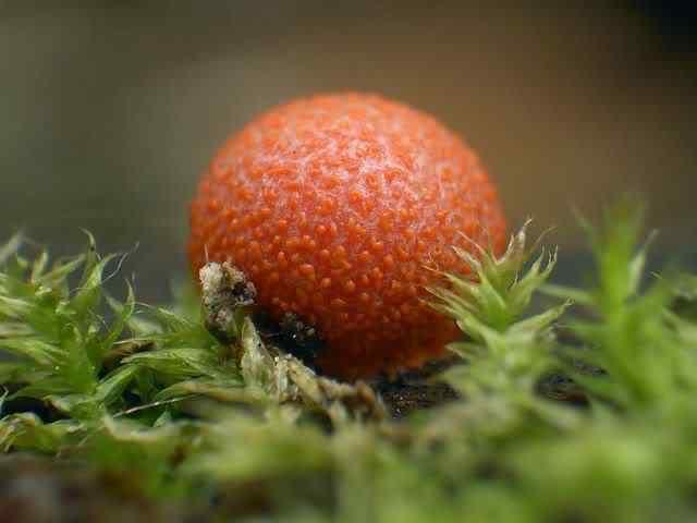 slime mold 30 Os mais incríveis fungos e líquens da natureza