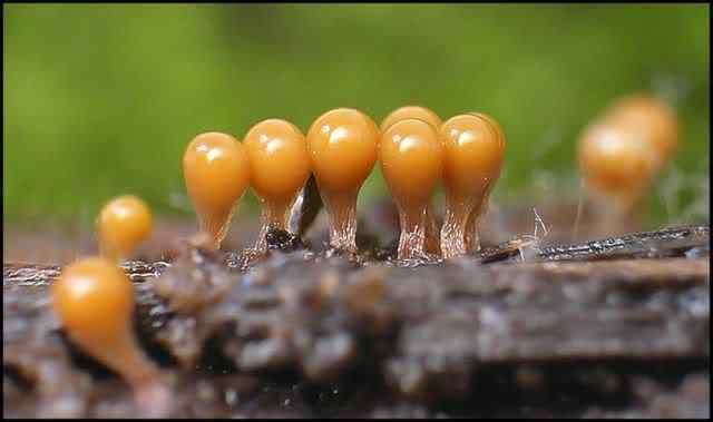 slime mold 63 Os mais incríveis fungos e líquens da natureza