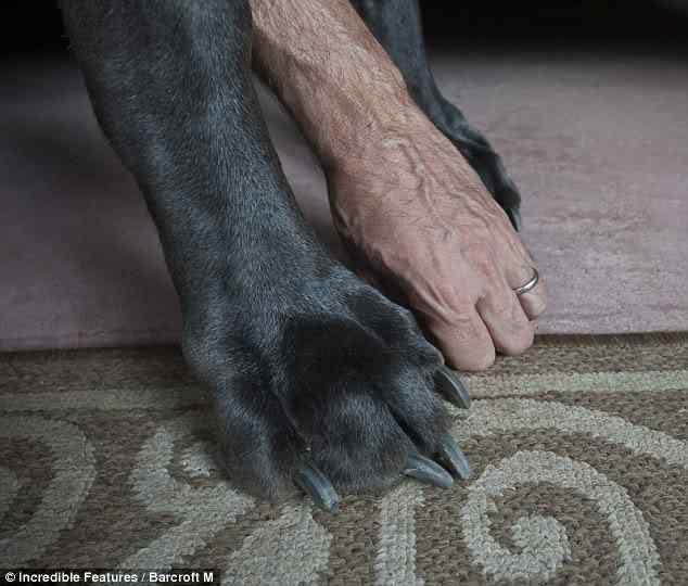 article 0 07ADFD5C000005DC 885 634x Cachorro gigante pode ser o novo recordista em tamanho