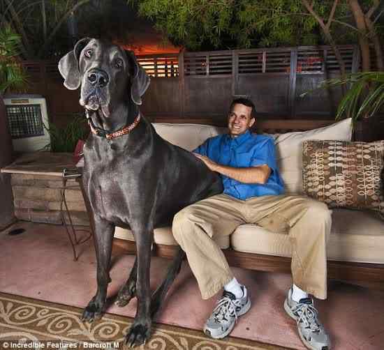 the 7ft dog Cachorro gigante pode ser o novo recordista em tamanho