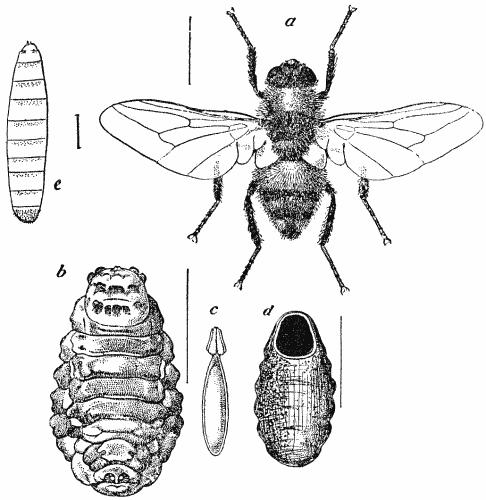 Ox Warble fly Larvas no nariz: Barrando o video da cera de ouvido