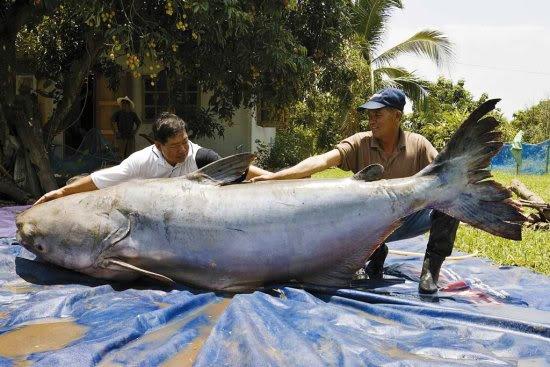 monster 6ft fish Mundo gigante   Um apanhado de coisas gigantes da web