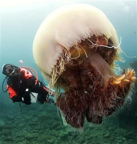 nomuras jellyfish 1 Mundo gigante   Um apanhado de coisas gigantes da web