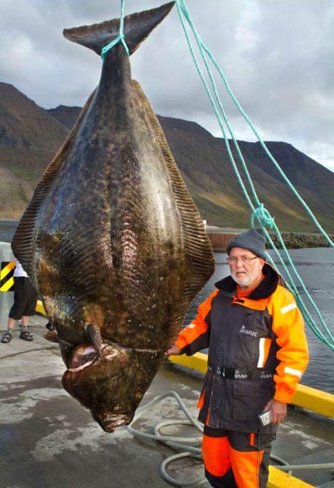 monster halibut Pescador novato captura peixão monstruoso