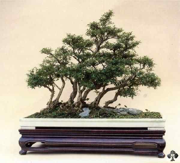 03 serissa foetida 20101030 1161772317 Bonsai: A arte de criar árvores em miniatura
