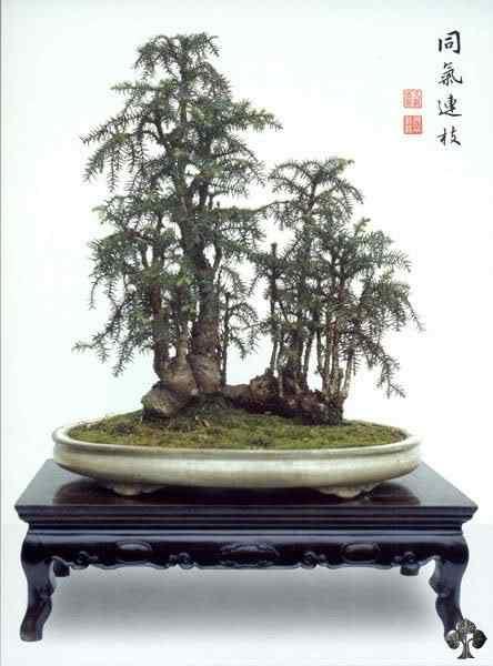 07 english fir 20101030 1883212480 Bonsai: A arte de criar árvores em miniatura