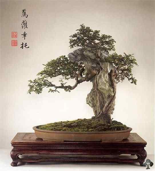10 ulmus parvifolia 20101030 1884360672 Bonsai: A arte de criar árvores em miniatura