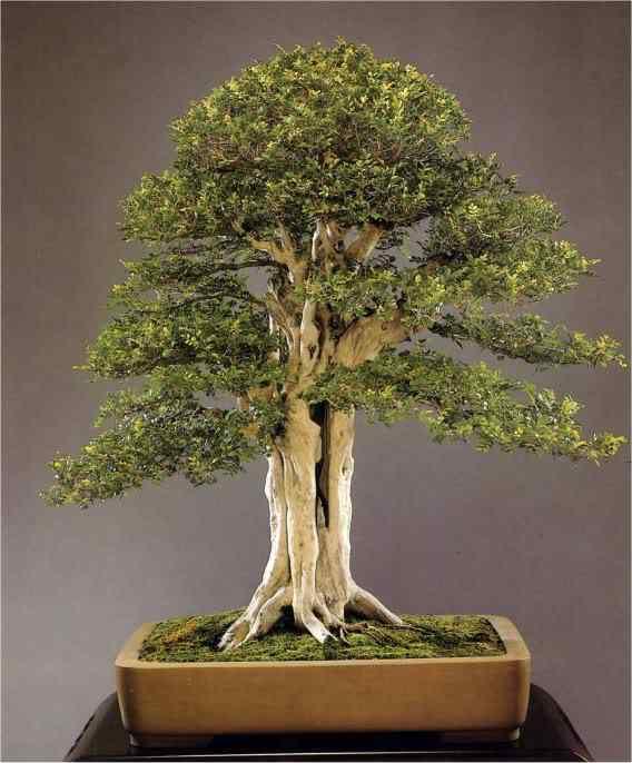 101 Bonsai: A arte de criar árvores em miniatura