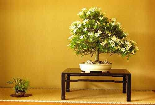 110 1 Bonsai: A arte de criar árvores em miniatura