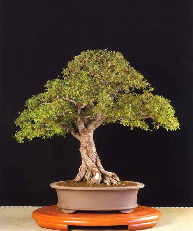 12 Bonsai: A arte de criar árvores em miniatura