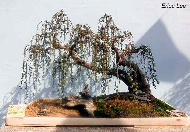 148521 460378312524 82869747524 6050047 1920887 n Bonsai: A arte de criar árvores em miniatura