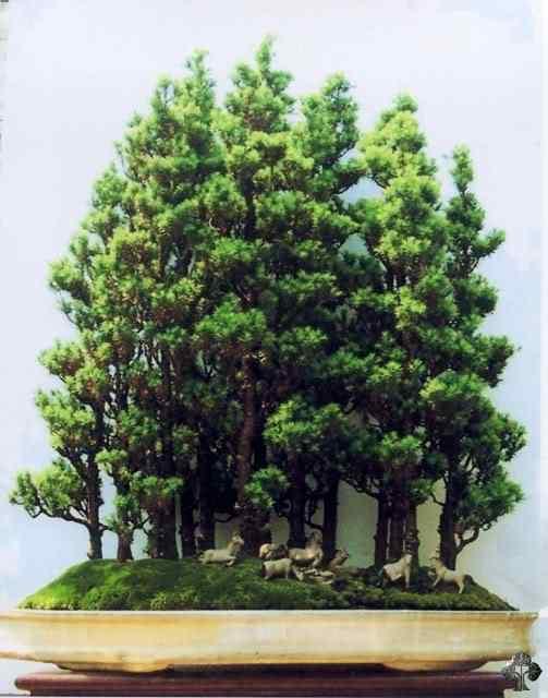 16 wong penjing2 20101030 1026997280 Bonsai: A arte de criar árvores em miniatura